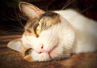 ホットカーペットで溶ける猫の写真・画像素材[910295]