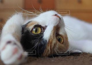 近くにカメラを見て猫のアップの写真・画像素材[1598491]