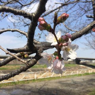 桜の写真・画像素材[465262]