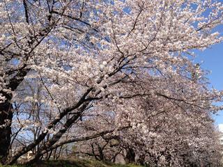 桜 - No.465472