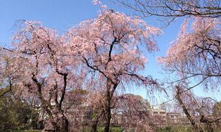桜の写真・画像素材[465474]
