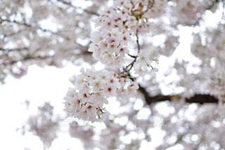 春の写真・画像素材[465500]