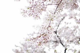 桜 - No.465501