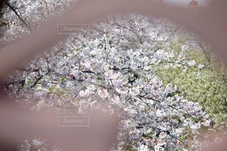 花の写真・画像素材[465527]