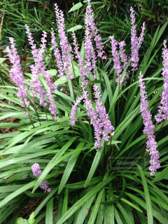 ヤブランの花の写真・画像素材[736825]