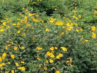 川の中州にはえた黄色の花の写真・画像素材[764301]