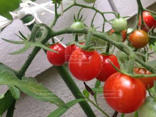 トマトの写真・画像素材[769184]