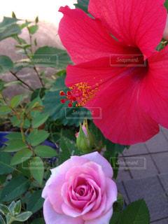 バラとハイビスカスの写真・画像素材[795794]