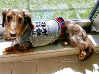 ミニチュアダックス 犬 ペット 日光 癒し 昼寝の写真・画像素材[466370]