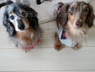 犬 ペット ミニチュアダックス 2匹の写真・画像素材[466371]