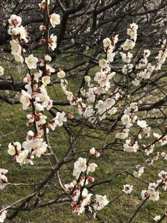 越谷市 梅林公園 梅 花 春の写真・画像素材[466406]