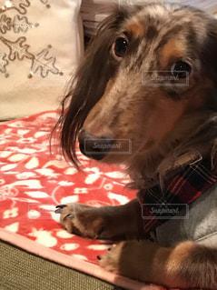 ミニチュアダックス 犬 ペット 癒しの写真・画像素材[466417]