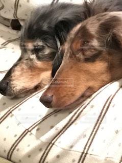 ミニチュアダックス 日光 犬 ペット 昼寝の写真・画像素材[466420]