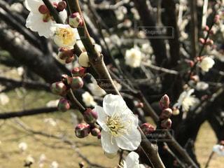 越谷市 梅林公園 梅 花 春の写真・画像素材[466444]