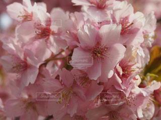 伊豆 桜 春 河津桜の写真・画像素材[466824]