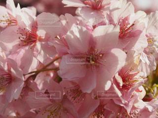 伊豆 桜 春 河津桜の写真・画像素材[466826]