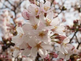 伊豆 桜 春 河津桜の写真・画像素材[466829]
