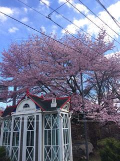 桜の写真・画像素材[466358]
