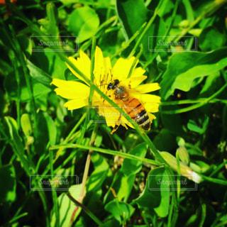 蜂の写真・画像素材[466412]