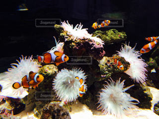熱帯魚の写真・画像素材[466616]