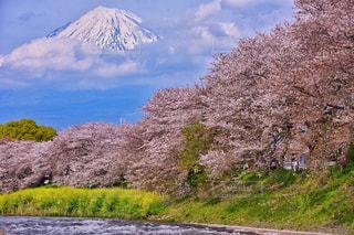No.466801 桜
