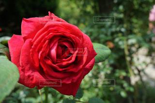 花の写真・画像素材[603125]
