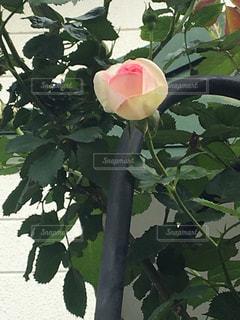 薔薇  ピンク  一輪の写真・画像素材[475877]