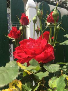 薔薇  赤  大輪  美しいの写真・画像素材[475890]