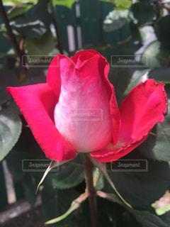 薔薇  美しい  ピンクの写真・画像素材[475902]