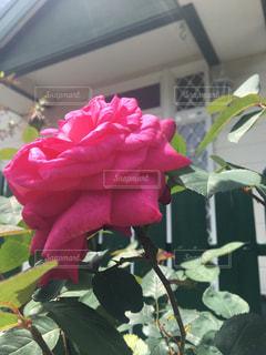 薔薇  ピンク  大輪  美しいの写真・画像素材[475903]