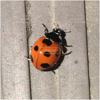 てんとう虫の写真・画像素材[480114]