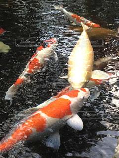 鯉の戯れの写真・画像素材[1670884]