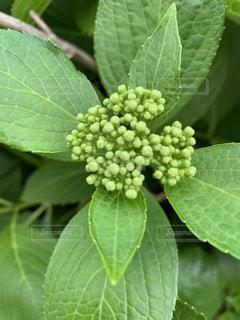 緑の植物のクローズアップの写真・画像素材[2131169]