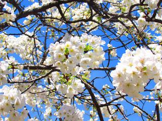 桜の写真・画像素材[467231]