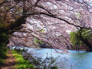 桜の写真・画像素材[467232]