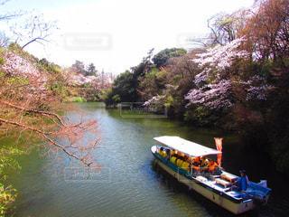 桜の写真・画像素材[467234]