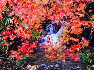 秋の渓流の写真・画像素材[811417]