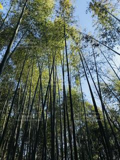 早春の竹林の写真・画像素材[1082095]