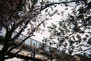 No.481506 桜