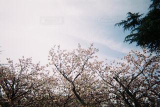 No.481516 桜