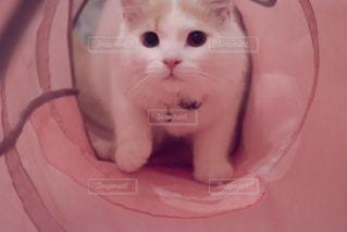 その口を開いて白猫 - No.742893
