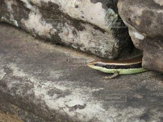 爬虫類の写真・画像素材[481189]