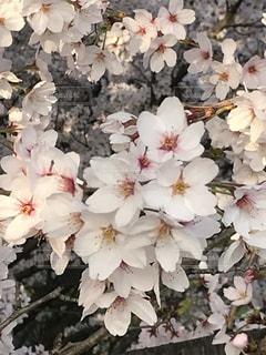 近くの花のアップ、桜。の写真・画像素材[1139689]