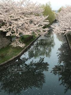 伏見であい橋から見た桜と川面の写真・画像素材[1139763]