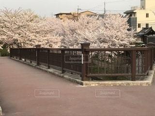 伏見であい橋、桜。の写真・画像素材[1139767]