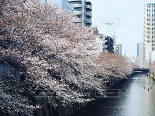 桜 - No.468880