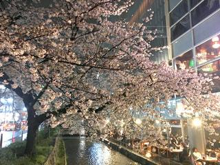桜の写真・画像素材[468881]
