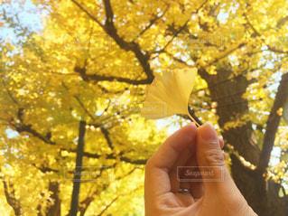 イチョウ並木の写真・画像素材[1124559]