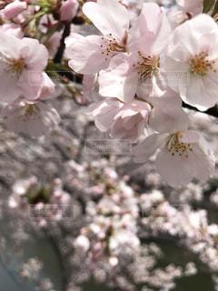 No.468858 桜