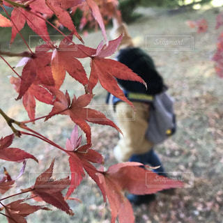 ピンクの花の木の写真・画像素材[872260]